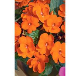Impatiens ´New Guinea Magnifico® Orange´ / Netýkavka oranžová, bal. 6 ks sadbovačů