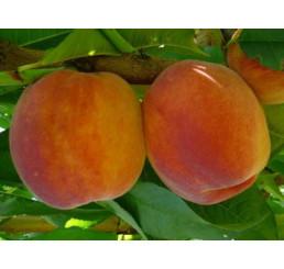 Prunus persica ´Inka´ / Broskvoň, GF 677