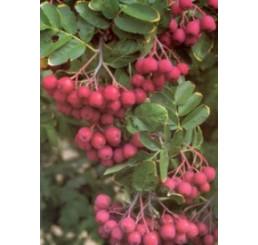 Sorbus aucuparia / Jarabina sladká ´Granatina´, 80-100 cm , C2