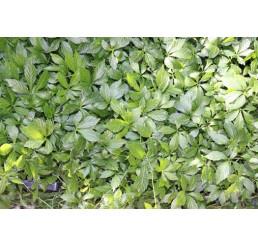 Gynostemma pentaphyllum / Gynastema pětilistá / Jiaogulan, K7