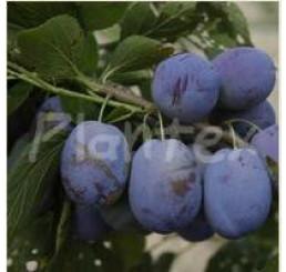 Prunus domestica  ´Jojo´ / Slivoň podzimní rezistentní, wangen.
