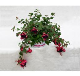 Fuchsia Jollies® ´Trailling Tulle´ / Fuchsie, K7