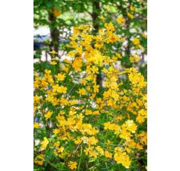 Kerria japonica ´Golden Guinea´ / Zákula japonská, 10-15 cm, K9