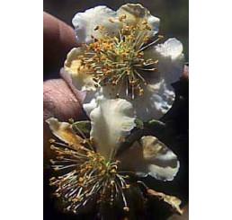 Actinidia chinensis ´Atlas´ / Opylovač kiwi, samčí r., C2