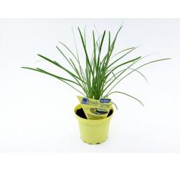 BIO Tulbaghia violacea / Česneková tráva, K12