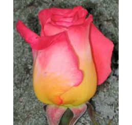 Rosa ´Kronenbourg´ / Růže čajohybrid červenožlutá/bílá, keř