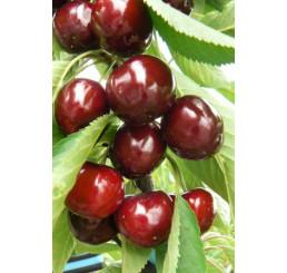Prunus avium ´Lapins´ / Třešeň, Gisela5