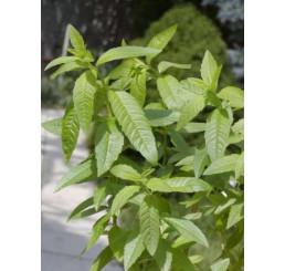 BIO Lippia citriodora ´Freshman´ / Verdena citrónová / Aloisie, K12