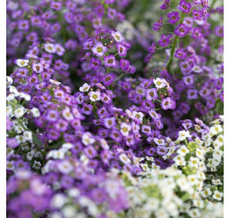 Lobularia® ´Sweetness Blue Improved´ / Lobularie, bal. 3 ks, 3xK7