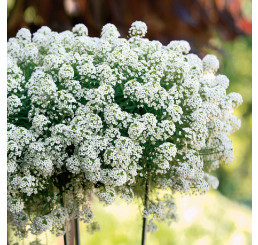 Lobularia ´Snow Princess´ / Lobularie, bal. 6 ks sadbovačů