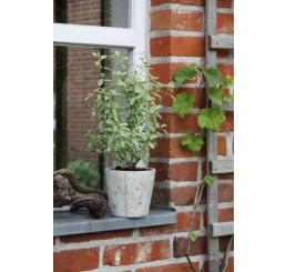 BIO Salvia greggii variegata / Šalvěj na podporu trávení, K12