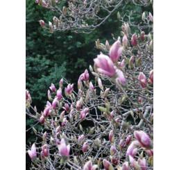 Magnolia soulangeana ´Sundew´ / Šácholan Soulangeův, 30 - 40 cm, K9