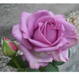 Rosa ´Mainzer Fastnacht´ / Růže čajohybrid fialová, keř, BK