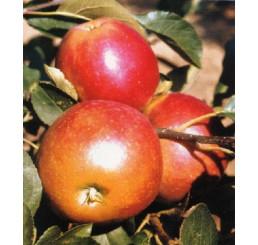 Malus domestica ´James Grieve Red´ / Jabloň pozdní letní, M9