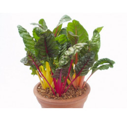 BIO Beta vulgaris / Mangold, K12