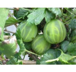 Ribes grossularia ´Mucurines®´ / Angrešt rezistentní zelený, keř roubovaný, VK, 4-5 výh.