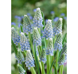 Muscari Peppermint / Modřenec, bal. 10 ks, 8/9