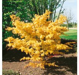 Acer palm. ´Orange Dream´ / Javor dlanitoklaný, 30-40 cm, C3