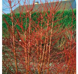Cornus sanguinea ´Midwinter Fire´ / Svída krvavá / Dřín, 25-30 cm, C2