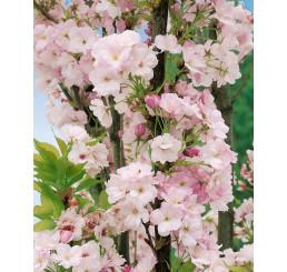 Prunus serrulata ´Amanogawa´ / Viseň pilovitá / Sakura, C4