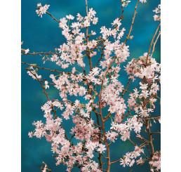 Prunus subhirtella ´Autumnalis Rosea´ / Višeň chloupkatá, 100-125 cm, C7,5