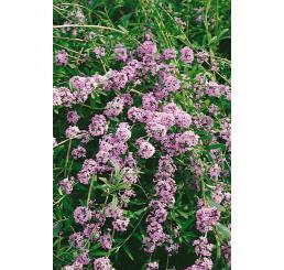 Buddleia alternifolia / Komule střídavolistá, 50-60 cm, C3
