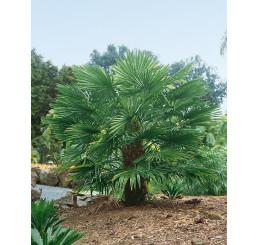 Trachycarpus fortunei / Trachykarp Fortunův, bal. 5 s