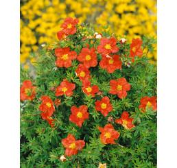 Potentilla fruticosa ´Marian Red Robin´® / Mochna křovitá červ., 15 - 20 cm, K12
