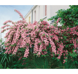 Weigela florida Rosea / Vajgélie květnatá, 50-60 cm, C3
