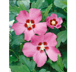 Hibiscus syriacus ´Woodbridge´ / Ibišek syrský, 30-40 cm, C3