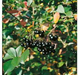 Aronia melanocarpa ´Nero´ / Temnoplodec černoplodý, 80-100 cm, K11