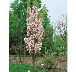 Prunus serrulata ´Amanogawa´ / Viseň pilovitá / Sakura, kmen 8/10, C20
