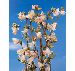 Lonicera fragrantissima / Zimolez vonný, 50-70 cm, C3