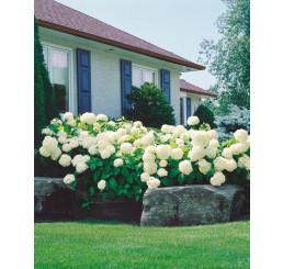 Hydrangea arborescens ´Annabelle´ / Hortenzie stromečková, 60 cm, C2