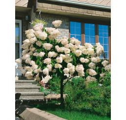 Hydrangea paniculata ´Grandiflora´ / Hortenzie latnatá, 50-60 cm, C2
