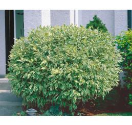 Cornus alba ´Elegantissima´ / Svída bílá / Dřín, 40-50 cm, C2
