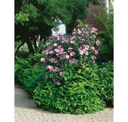 Hibiscus syriacus / Ibišek syrský, bal. 10 ks VK na živý plot