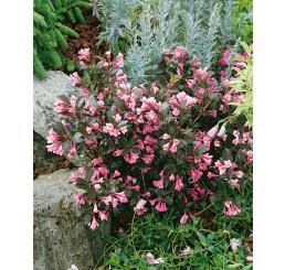 Weigela florida ´ Nana Purpurea´ / Vajgélie květnatá, 30-40 cm, C3
