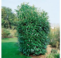 Prunus laurocer. ´Caucasica´ / Bobkovišeň lékařská, 20-25 cm, K9