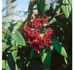 Viburnum rhytidophyllum / Kalina vrásčitolistá, 40-60 cm, C3