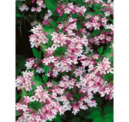 Kolkwitzia amabilis / Kolkvície půvabná, K9