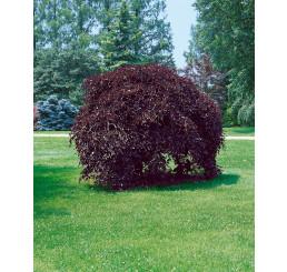 Fagus sylvatica ´Purpurea Pendula´ / Buk lesní převislý purpurově červený, 100-125 cm, C7,5