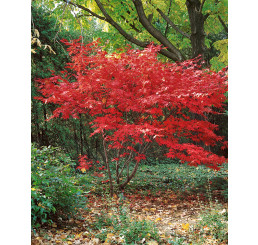 Acer palmatum ´Bloodgood´ / Javor dlanitoklaný, 40-50 cm, C4