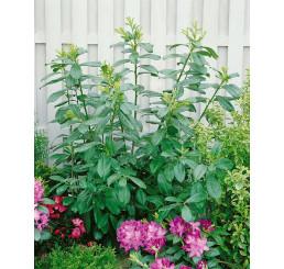 Prunus laurocerasus ´Novita´ / Bobkovišeň lékařská, 10-15 cm, K9