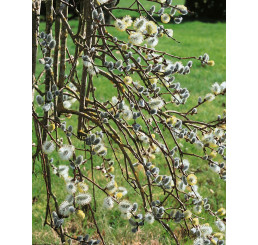 Salix caprea ´Curly Locks´ / Vrba jíva, 130 cm kmínek, C5