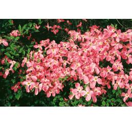 Cornus florida rubra/ Svída květnatá / Dřín, 60-80 cm, C5