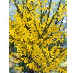 Forsythia x interm. viridissima ´ Week End´ / Zlatý déšť nejzelenější / Zlatice, 20-30 cm, K12
