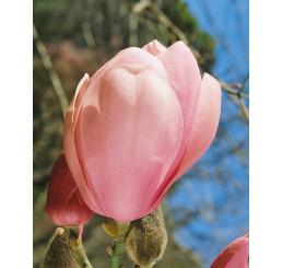 Magnolia soulang. Lennei / Šácholan, 60-80 cm, C2