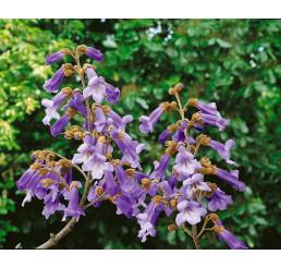 Paulownia tomentosa / Paulovnie plstnatá, 60-80 cm, C4
