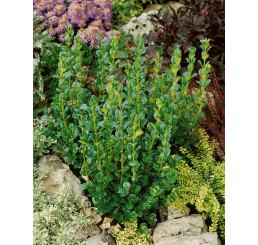Buxus rotundifolia / Zimostráz okrouhlolistý, 20-30 cm, C1,5